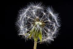 Семена одуванчика в конце-вверх Зерно распространенное ветром blowfish стоковые фотографии rf