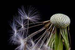 Семена одуванчика в конце-вверх Зерно распространенное ветром blowfish стоковая фотография