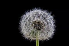Семена одуванчика в конце-вверх Зерно распространенное ветром blowfish стоковое изображение