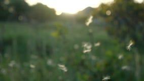 ( Семена одуванчика дунутые и рассеиванные ветром против зеленой травы и голубого неба акции видеоматериалы