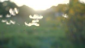 ( Семена одуванчика дунутые и рассеиванные ветром против зеленой травы и голубого неба видеоматериал
