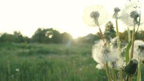 ( Семена одуванчика дунутые и рассеиванные ветром против зеленой травы и голубого неба сток-видео