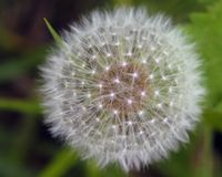 семена одуванчика стоковое фото rf