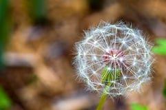 Семена одуванчика Стоковое Изображение RF
