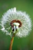 семена одуванчика s Стоковые Фотографии RF