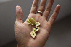 Семена лотоса на руке людей Стоковое фото RF