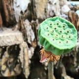 Семена лотоса на черенок Стоковая Фотография