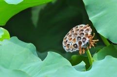 Семена лотоса Стоковая Фотография