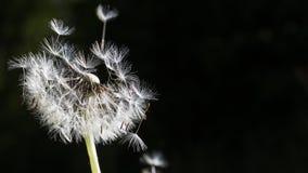 Семена одуванчика в солнечном свете утра дуя прочь стоковые изображения