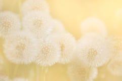 Семена одуванчика в солнечном свете утра Стоковая Фотография