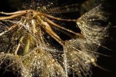 Семена одуванчика макроса с Waterdrops Стоковое Фото