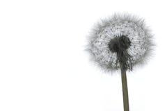 Семена одуванчика на белизне Стоковое Изображение