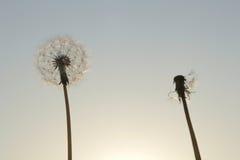 Семена одуванчика на восходе солнца Стоковое Изображение RF