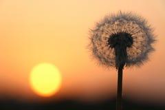 Семена одуванчика на восходе солнца Стоковые Изображения RF