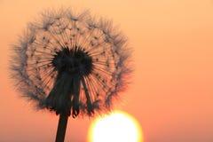 Семена одуванчика на восходе солнца Стоковые Изображения