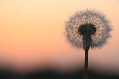 Семена одуванчика на зоре Стоковое фото RF
