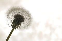 Семена одуванчика на солнечном свете Стоковое Фото
