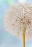 Семена одуванчика - пушистый blowball Стоковые Изображения RF