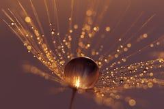 Семена одуванчика с падениями воды и красивыми тенями Стоковые Фото
