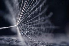 Семена одуванчика с падениями воды и красивыми тенями Стоковое Изображение RF