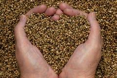 семена пеньки Стоковые Фото