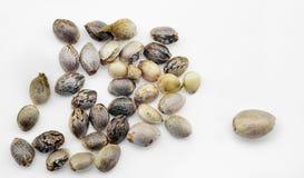 Семена пеньки стоковые фотографии rf