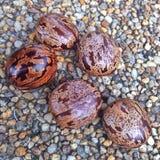 Семена резинового дерева Стоковые Фотографии RF