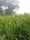 Семена риса в ферме Стоковые Изображения