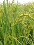 Семена риса в ферме Стоковое Изображение RF