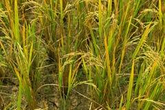 Семена риса Стоковая Фотография RF