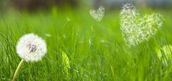 семена сердец формы летания одуванчика Стоковые Изображения
