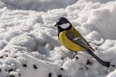 Семена снега птицы синицы Стоковые Изображения RF