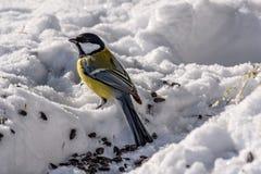 Семена снега птицы синицы Стоковое фото RF