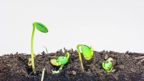 Семена сои растя против белой предпосылки акции видеоматериалы