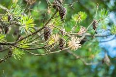 Семена сосны на ветвях Стоковые Изображения RF