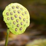 семена стручка лотоса Стоковое Изображение RF