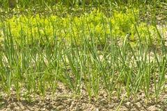 Семена с растущими зелеными луками Стоковое Фото