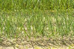 Семена с растущими зелеными луками Стоковое Изображение