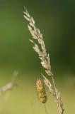 Семена травы Стоковая Фотография RF