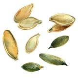 Семена тыквы, акварель с путями клиппирования Стоковые Фото