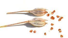 Семена тюльпана Стоковое Фото