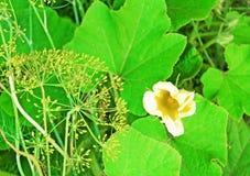 Семена укропа стоковая фотография rf