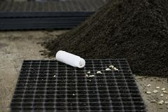 Семена фасоли в осеменяя подносе кучей мха торфа Стоковая Фотография RF