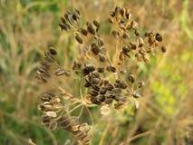 Семена фенхеля Стоковые Изображения RF