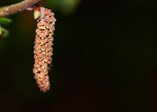 Семена фундука стоковая фотография rf