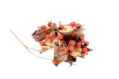 Семена цветка Стоковая Фотография