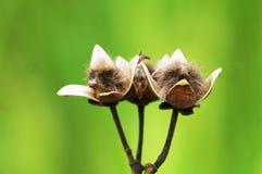 Семена цветков славы утра куста Стоковое Фото