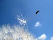 Семена 12 одуванчика Стоковые Изображения RF