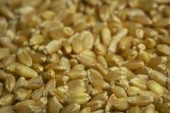 семена стоковое изображение