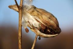 Семена Asclepias Milkweed стоковые фото